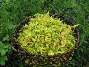 FIORI DI YLANG YLANG foto curtesy of: www.biolandes.com